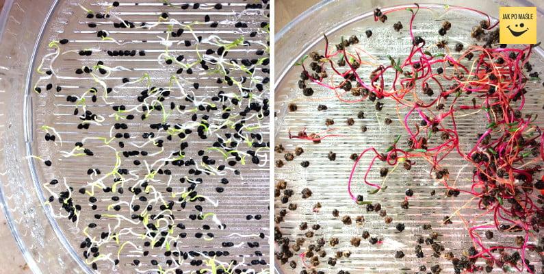 kiełki nasion wege